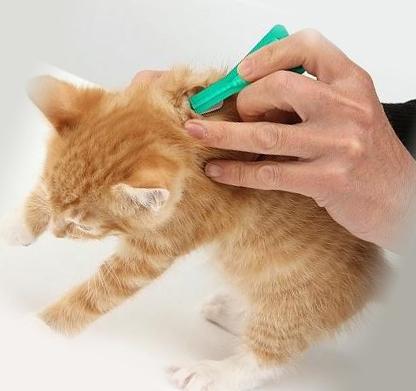 Лечение котенка от блох