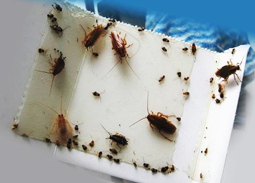 Кем травить тараканов в домашних условиях