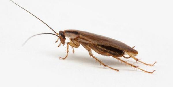 Обычный рыжий таракан