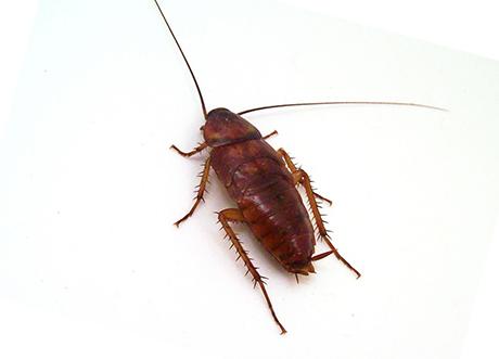 Рыжий таракан, фото