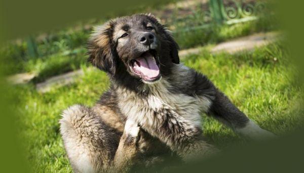 Собака с блохами чешется