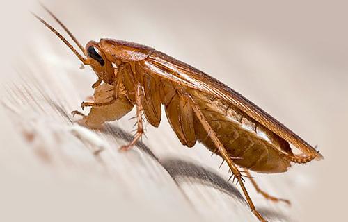 Таракан-вредитель