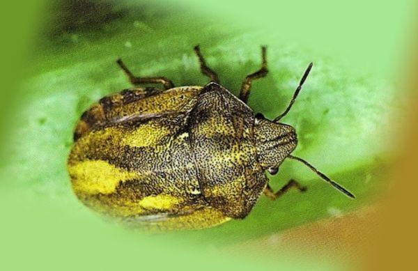 Зеленый клоп вредная черепашка