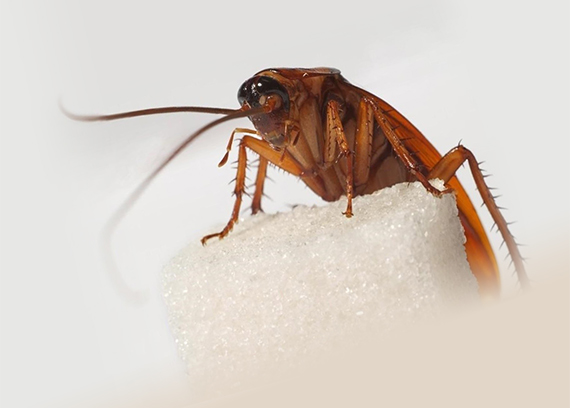 Так выглядит обычный таракан