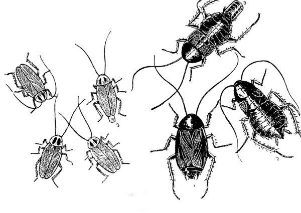 На рисунке рыжие тараканы