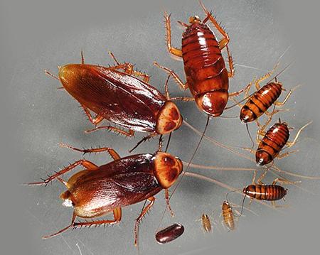 Рыжие тараканы, от маленького к большому