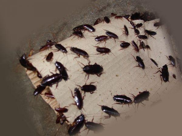 Банда тараканов