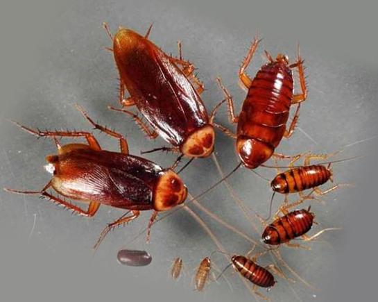 Личинки тараканов и сами тараканы