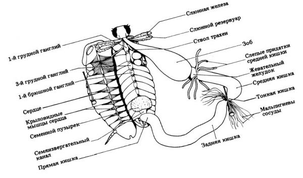 Органы таракана