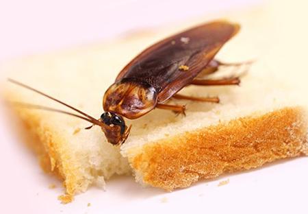 Таракан ест хлеб