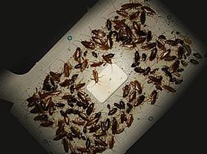 Тараканы в ловушке