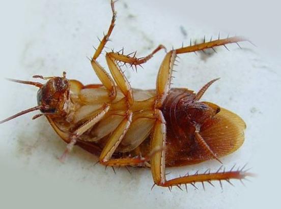 Убитый таракан