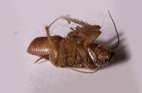 Мертвый таракан после применения Get