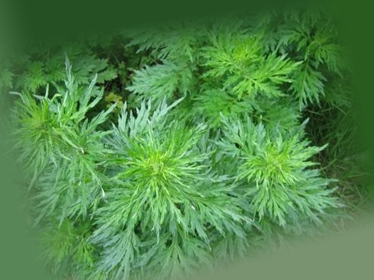 Трава полынь от тараканов зеленого цвета
