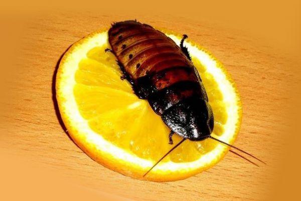 Таракан на апельсине