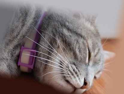 Кошка с ошейником от блох