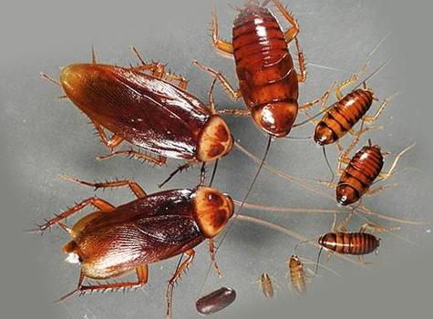 Тараканы с личинками