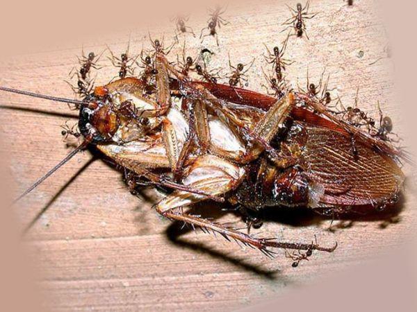 Муравьи, поедающие таракана