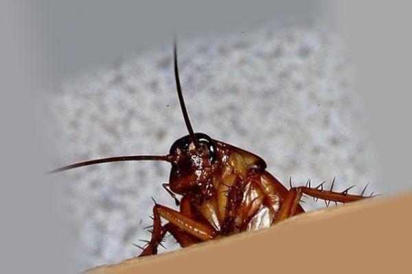 Морда таракана