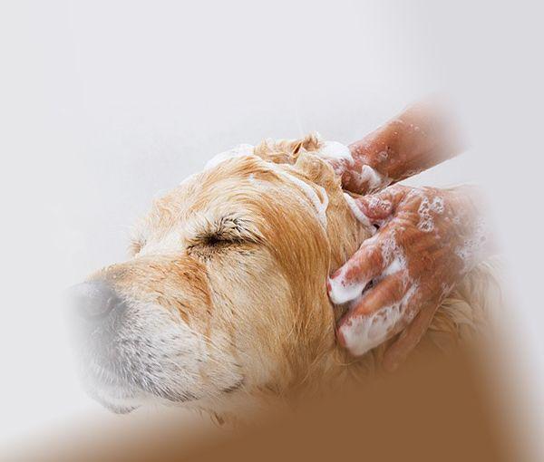 Собаку намыливают шампунем от блох