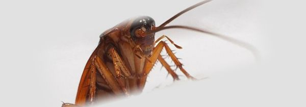 Взрослый таракан