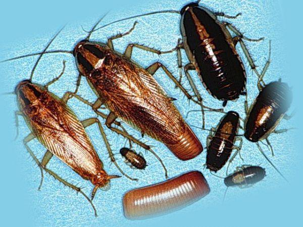 Тараканы и их личинки