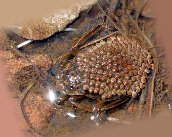 Самец белостомы вынашивает потомство