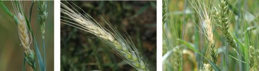 Поврежденная пшеница от клопов вредная черепашка
