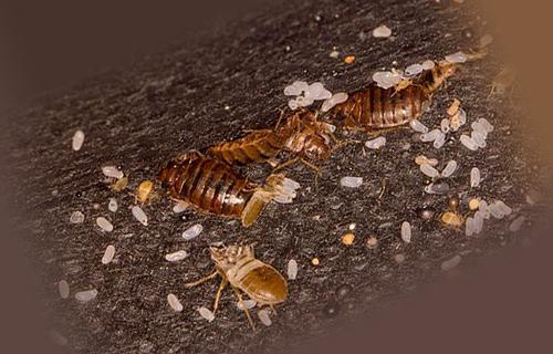 Клопы с личинками
