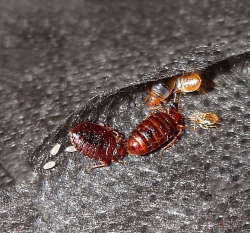Клопы с их личинками