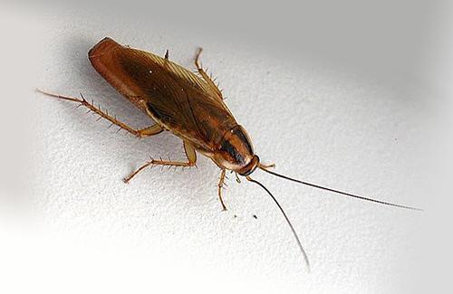 На фото рыжий таракан