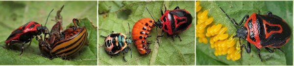 Клопы периллюсы едят колорадского жука