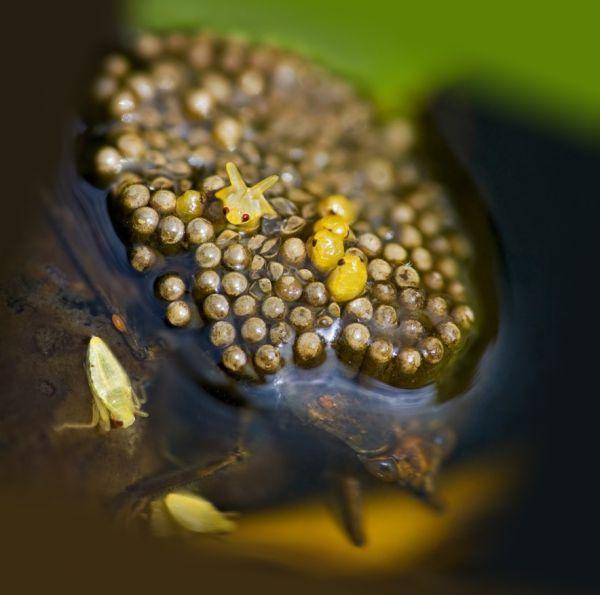 Самец белостомы с личинками