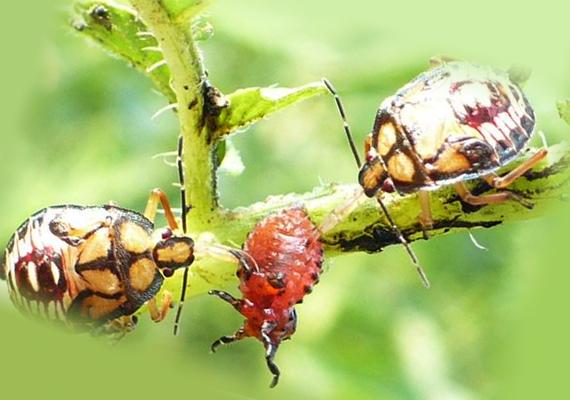 Личинка подизуса поедает колорадского жука