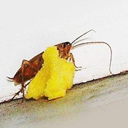 Яд и отрава от тараканов с борной кислотой