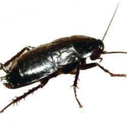 Как выглядят маленькие и большие тараканы, фото