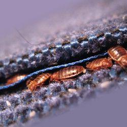 О постельных клопах, как выглядят укусы домашних клопов, фото