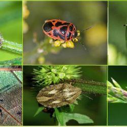 Садовые клопы, виды, уничтожение, фото